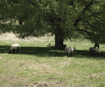 sheep_3.jpg