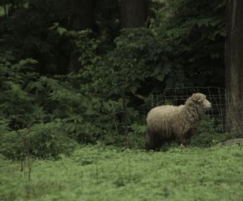 sheep_5.jpg