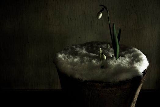 snowdrop.jpg