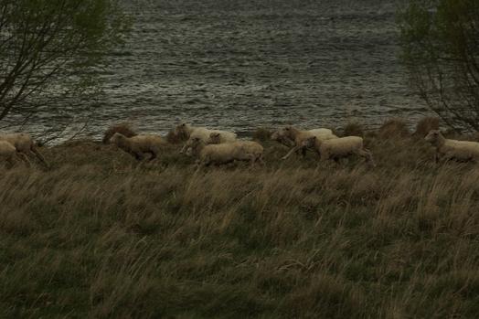 sheeps_2.jpg