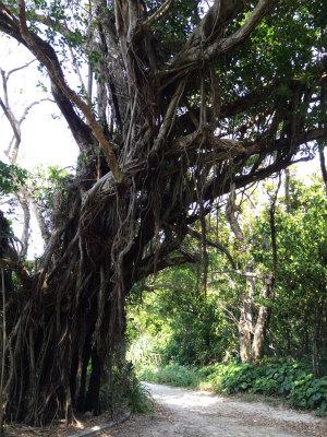 沖縄 離島 ガジュマル 孤島