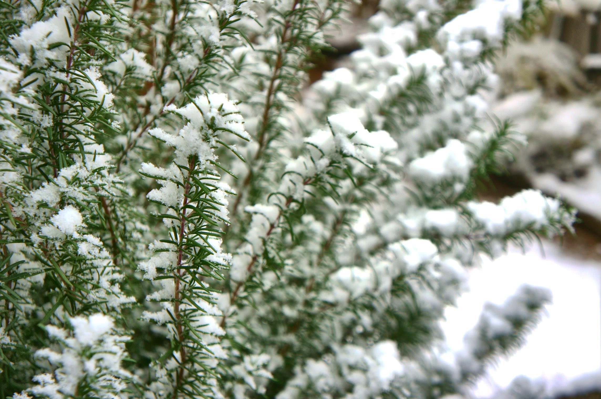 ローズマリー 雪