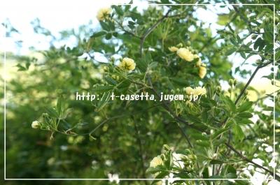 ガーデニング 園芸 モッコウバラ