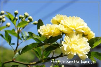 ガーデニング 庭 園芸 モッコウバラ