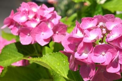 紫陽花 庭 我が家 園芸 ガーデニング