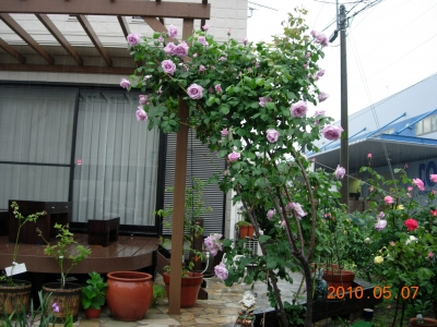 バラの季節2