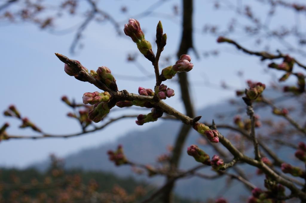桜 つぼみ