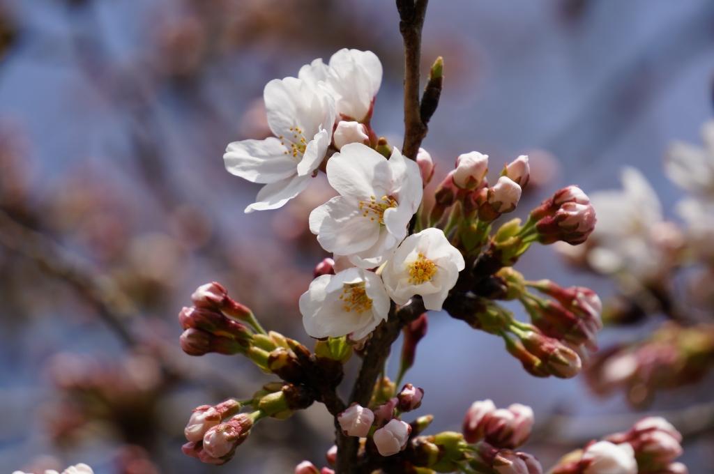 桜 咲き始め2