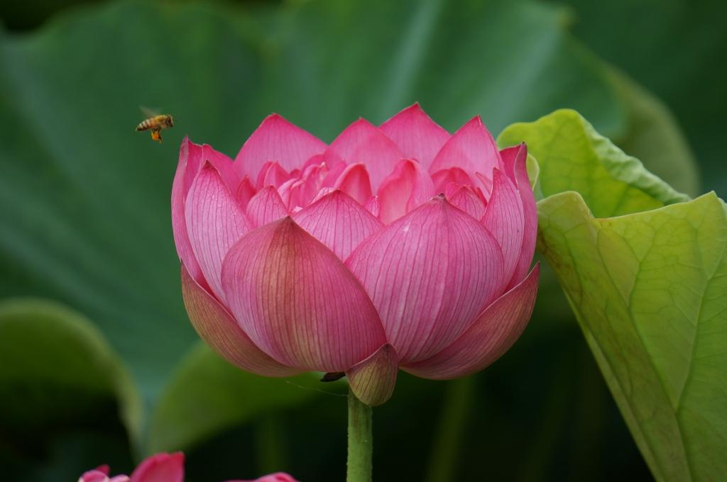 ハスの花2