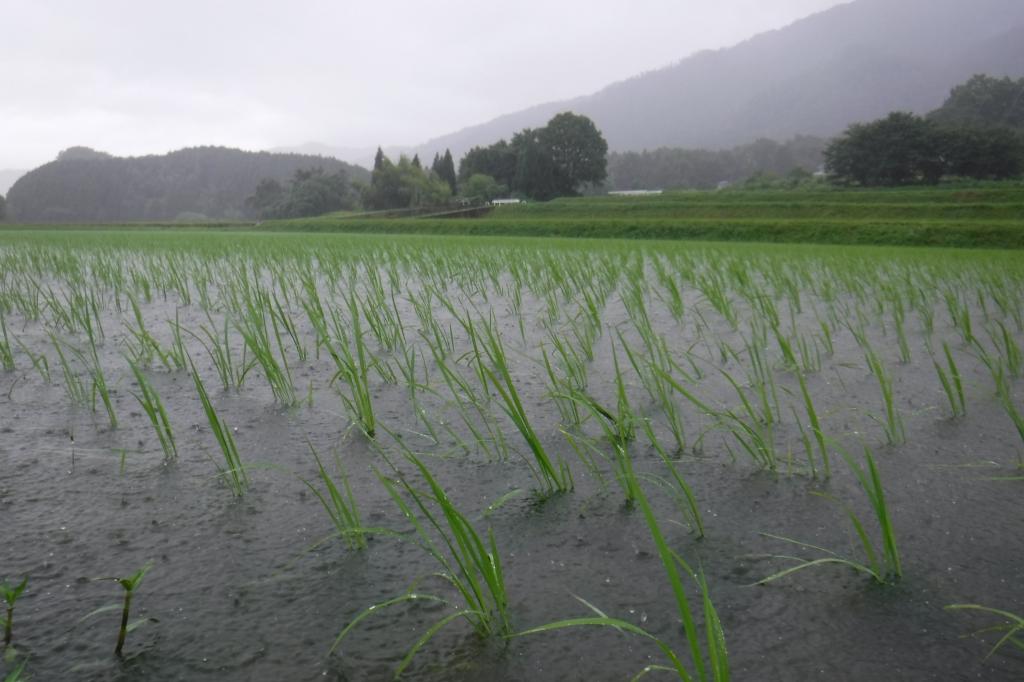 雨の田んぼ2
