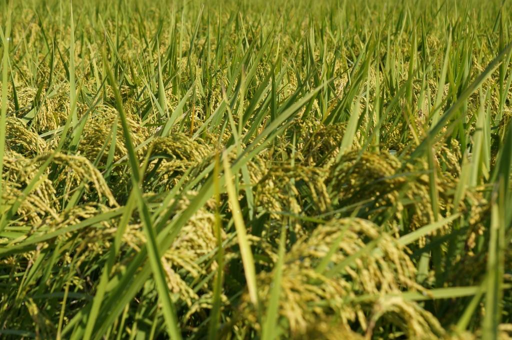 自然農法田、無農薬の稲穂