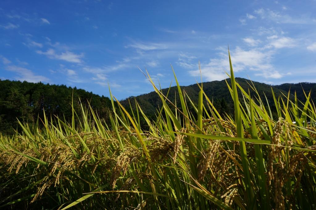稲 京都丹波の里はらだ自然農園