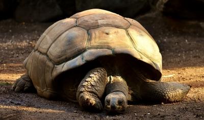 giant-tortoises-2872006_960_720.jpg