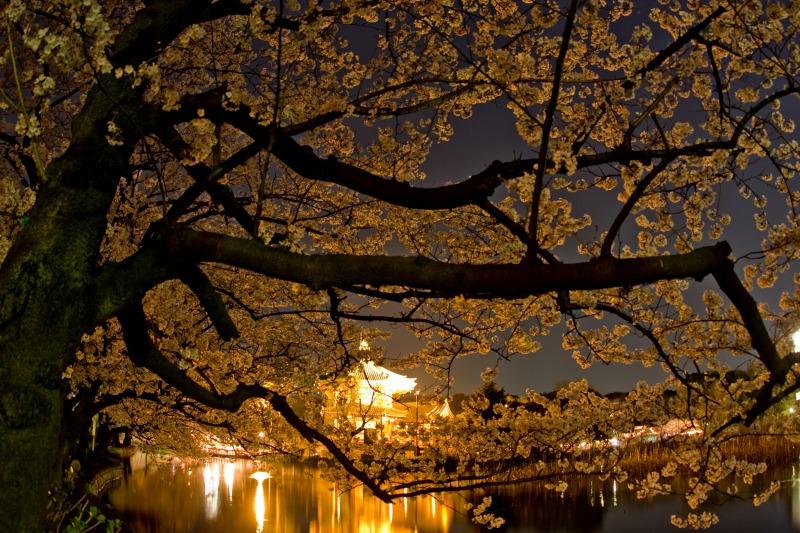 上野不忍池の桜1