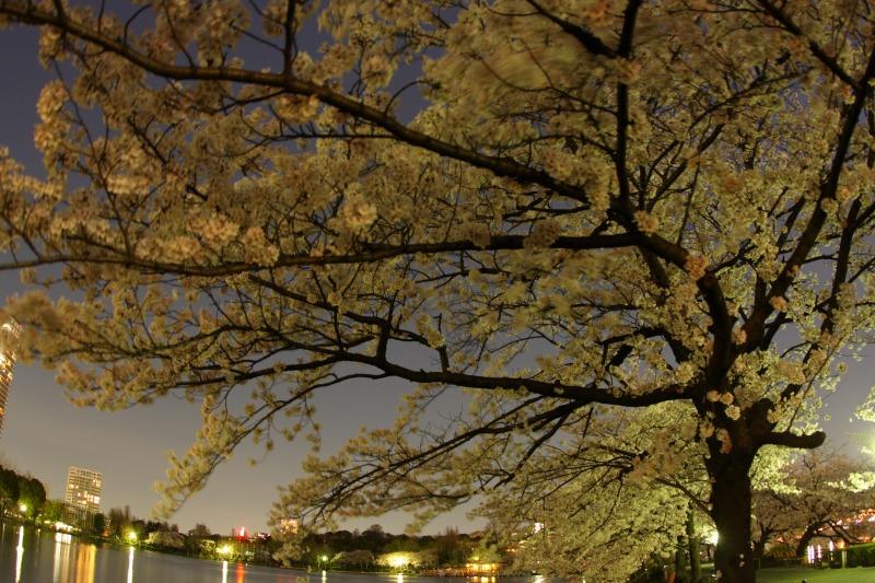 上野不忍池の桜2