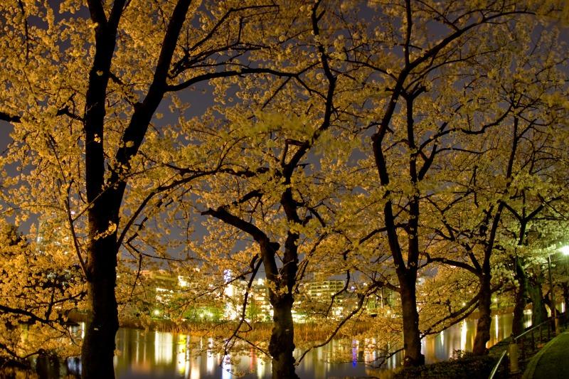 上野不忍池の桜3