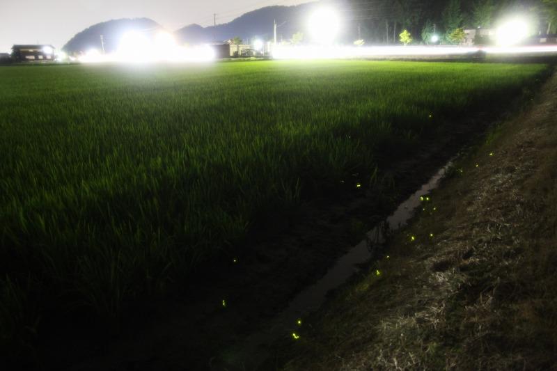 田んぼの際で光る蛍達