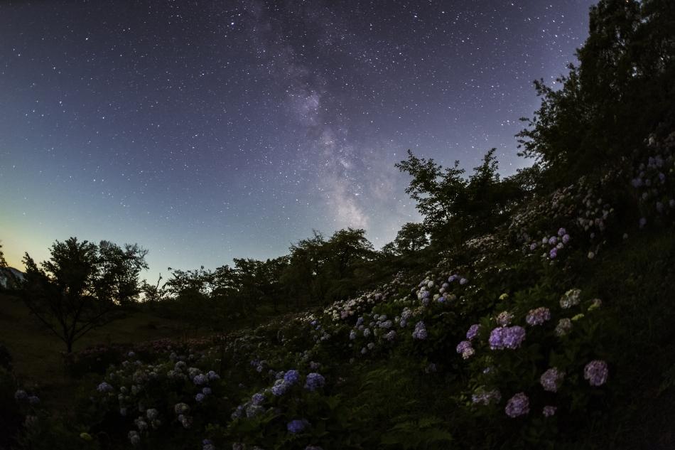 紫陽花と星空