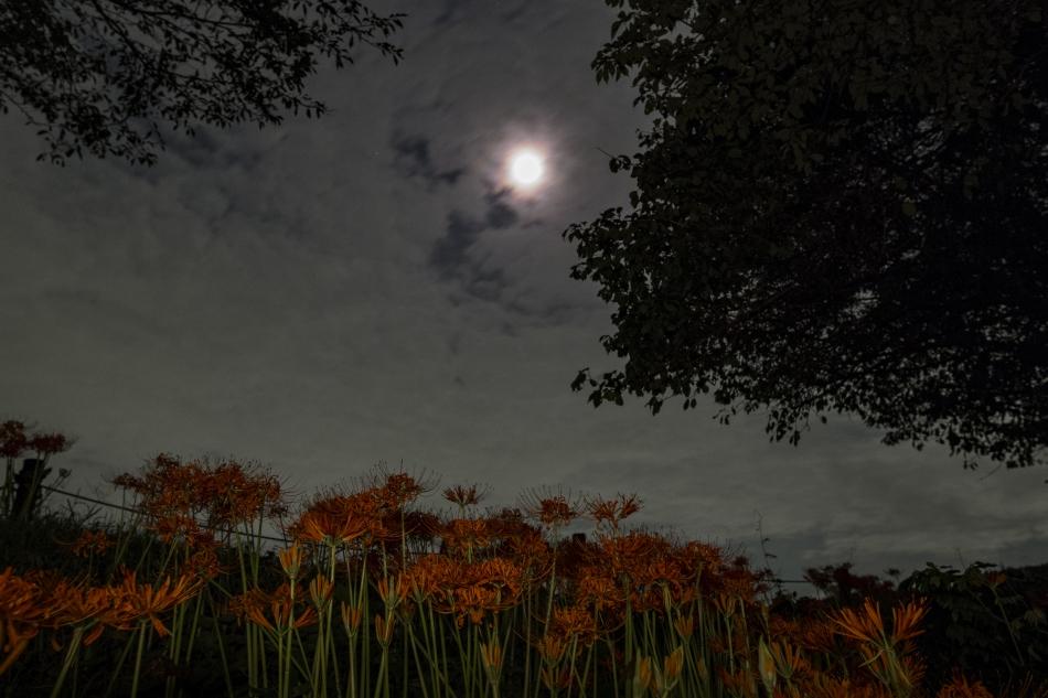 曼珠沙華と雲越しの月