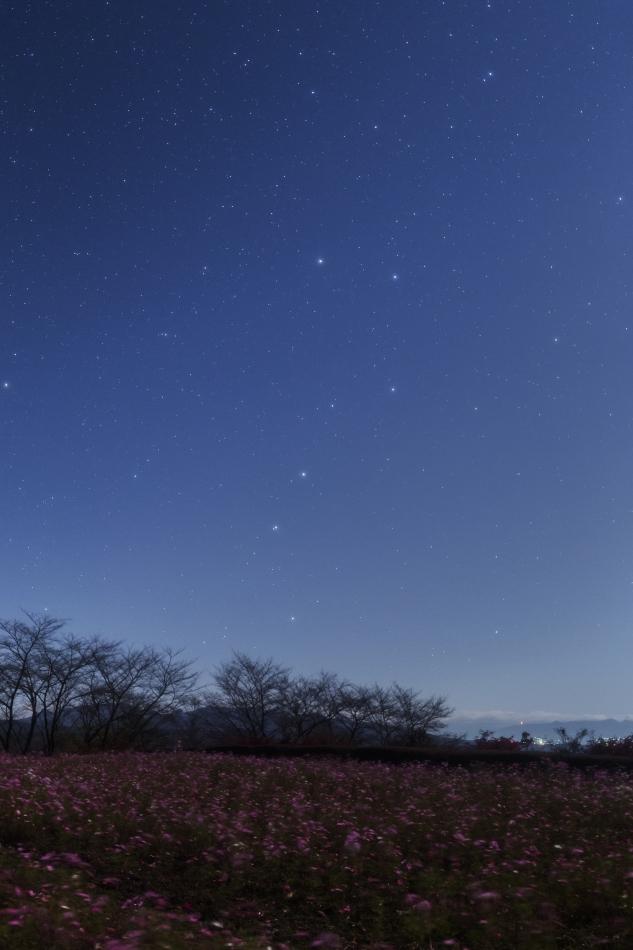 コスモス畑と昇る北斗七星