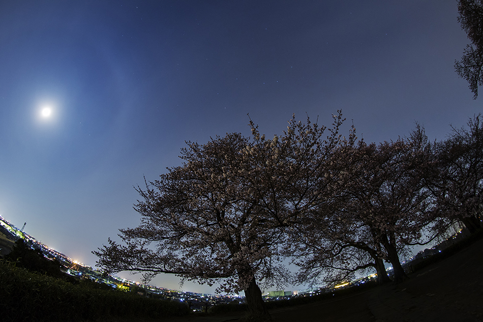 丸墓山古墳の桜と北斗七星