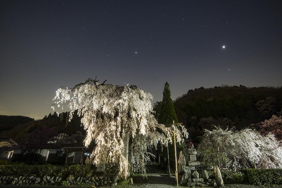 長瀞法善寺のしだれ桜と春の星たち