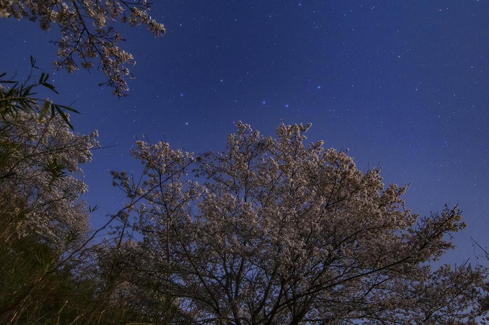 長瀞・野土山の桜と北斗七星