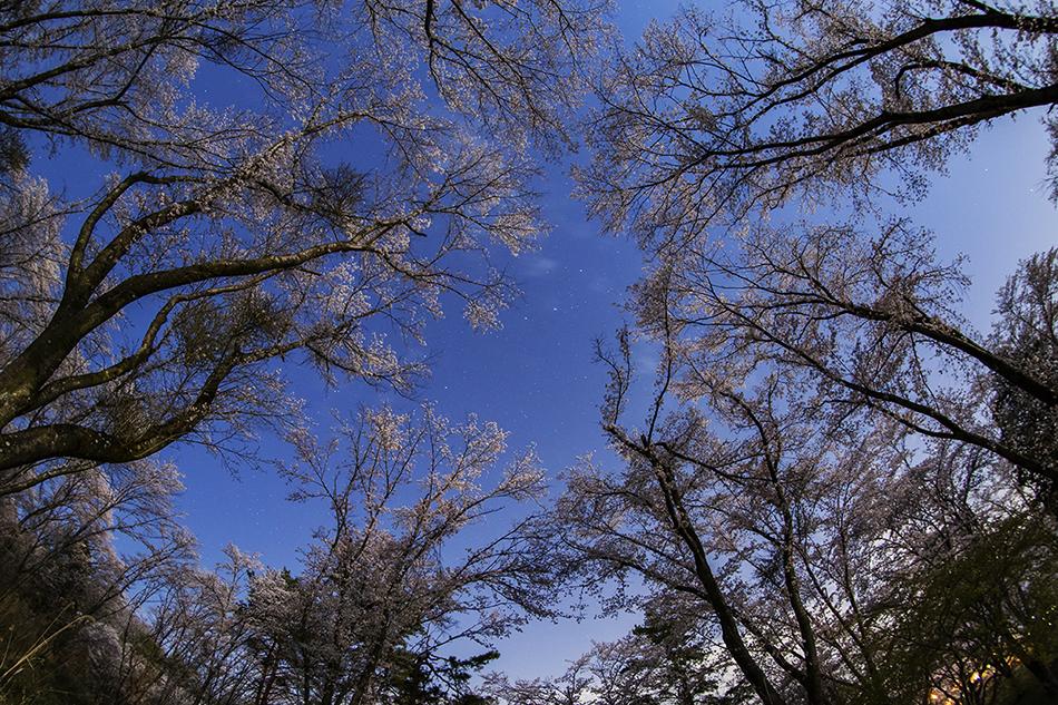 長瀞・野土山の桜を見上げる