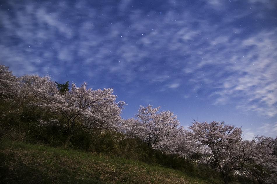 長瀞野土山の桜並木と北斗七星