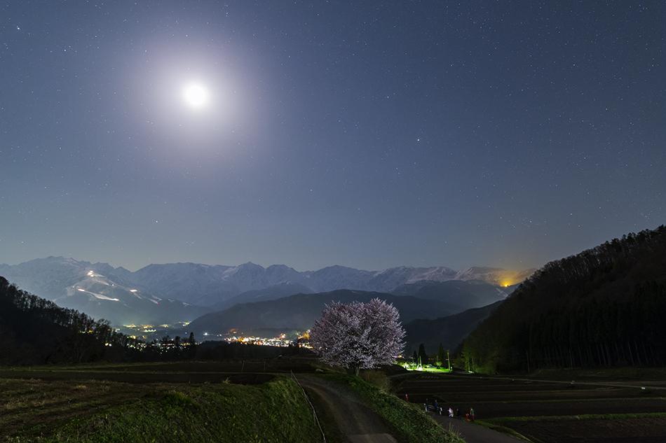 月下の野平の桜