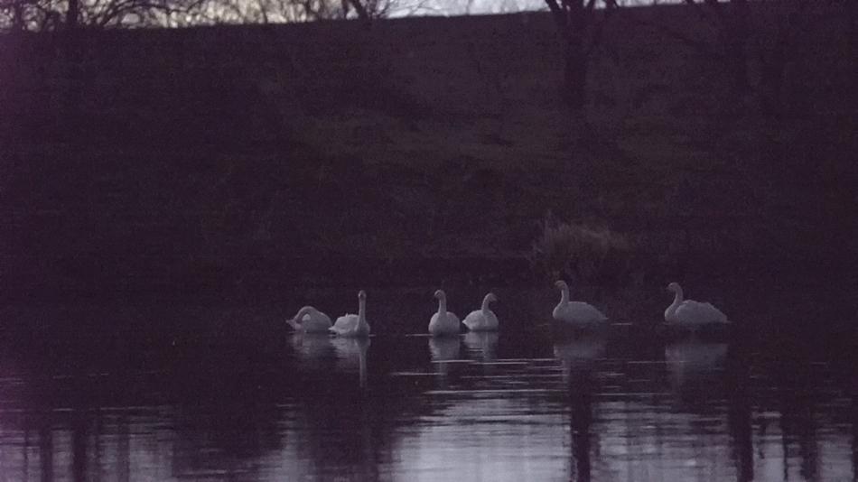 川島町の白鳥