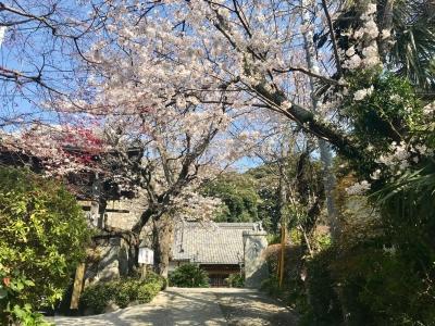 薬王寺 桜