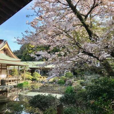 光明寺 桜