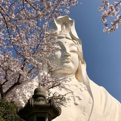 大船観音寺 桜