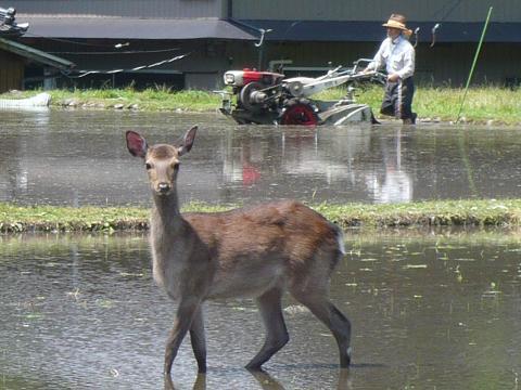 田んぼと鹿 (33)s.JPG