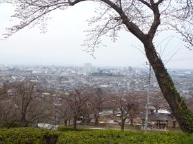 観音様桜1.JPG