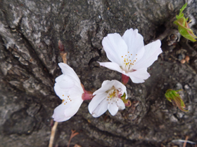 観音様桜2.JPG