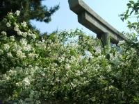 卯の花(うつぎ)
