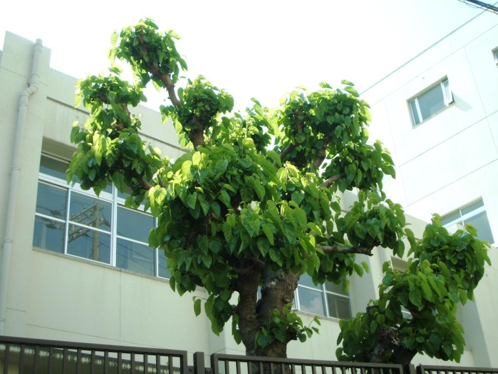 桑津小学校の桑の木