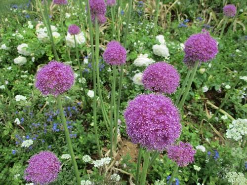 第33回 全国都市緑化よこはまフェア 里山ガーデン 横浜の花で彩る大花壇 アリウムギガンチューム