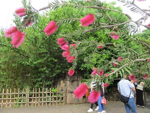 よこはま動物園ズーラシア オセアニアの草原エリア ブラシの木