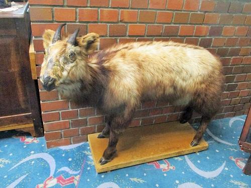 熊の湯ホテル 翡翠色の温泉 カモシカの剥製も鎮座。
