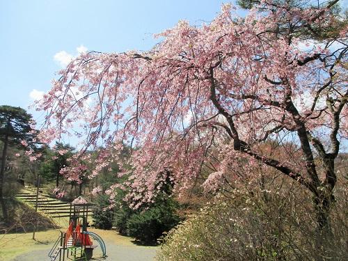 素晴らしい! しだれ桜です! 4月19日。 伊香保ではまだ桜が楽しめました!