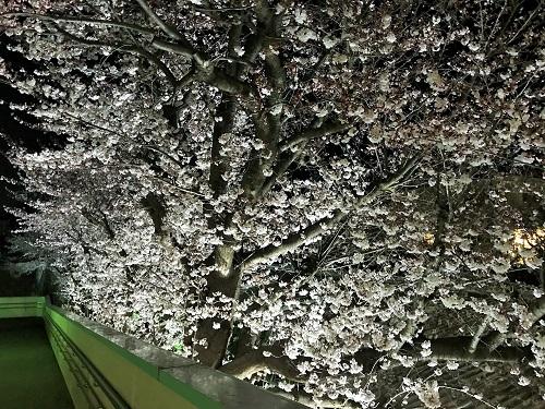 相鉄・弥生台駅・桜のライトアップ 2019年春