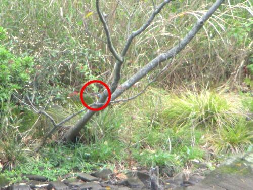【旭区】こども自然公園(大池公園)でカワセミを激写!