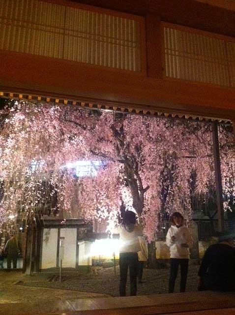惠福寺 しだれ桜 01
