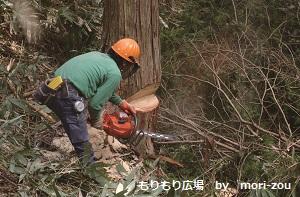 <16>森林 ひのき伐採  木曾ひのきの家もりぞう.jpg