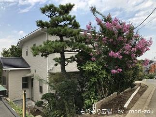 立派な松と百日紅もりもり広場20170818.jpg