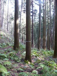 磨き丸太の木