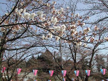 飯能市天覧山下『中央公園』の桜も開花しました・・・